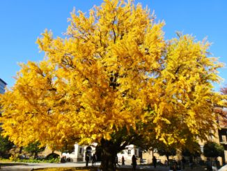 Gingko-Tree-in-fall